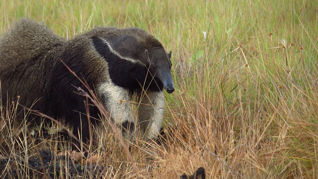 photo of giant anteater Guyana